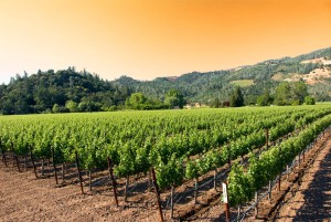 Sunset in California vineyards